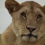 Up Close: Lion in the Serengeti