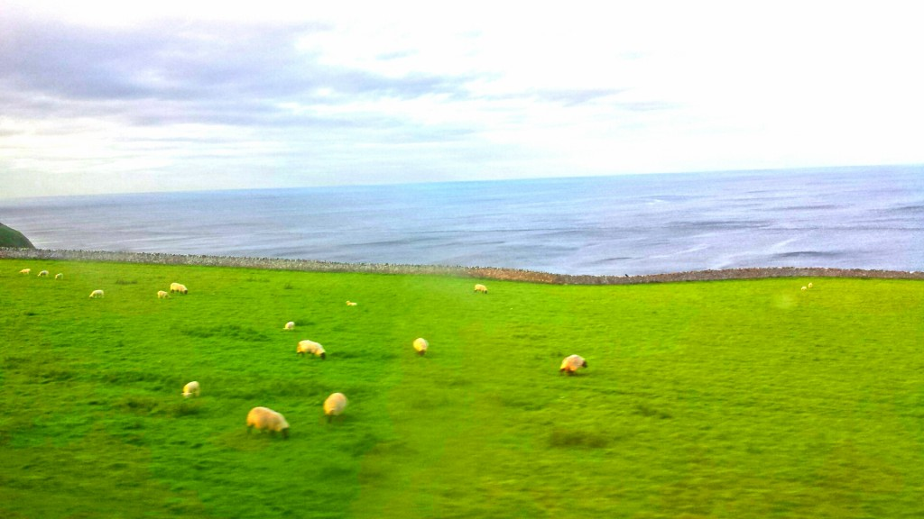 Sheep by the East coast