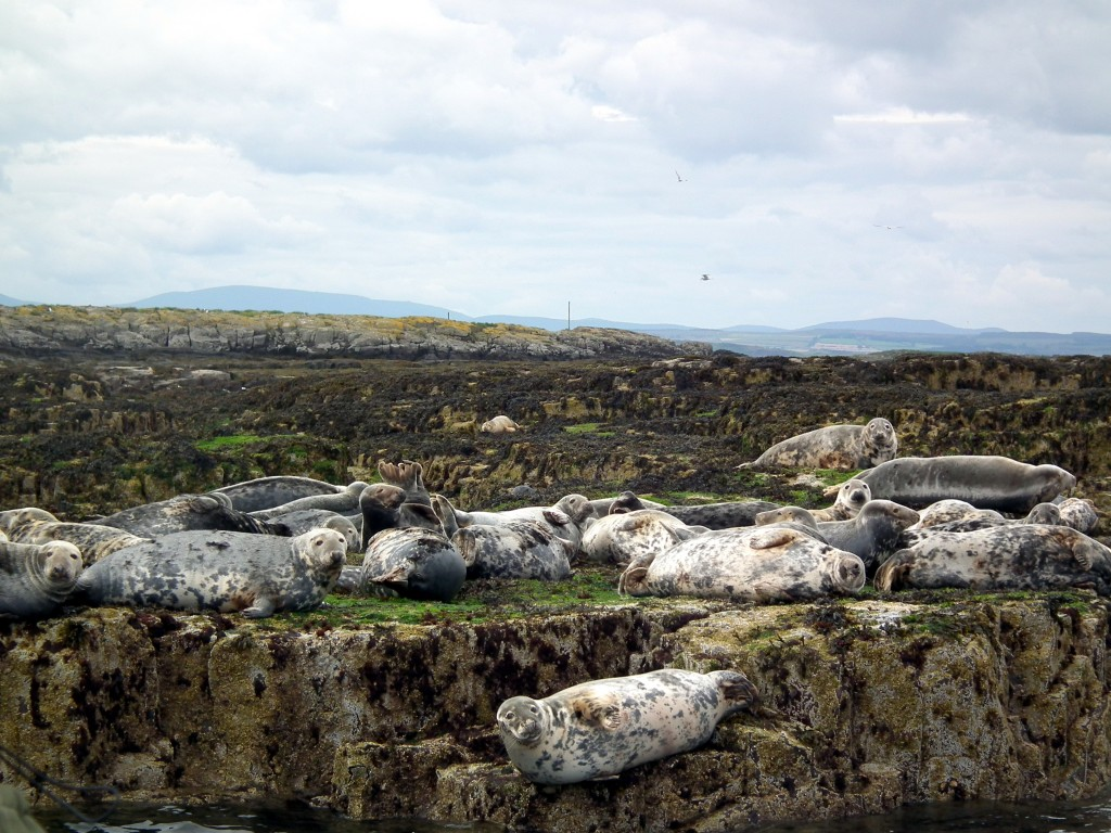 Seals farne islands